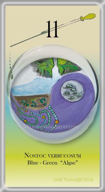 PIPETTESNostoc VerrucosumBlue-Green Algae